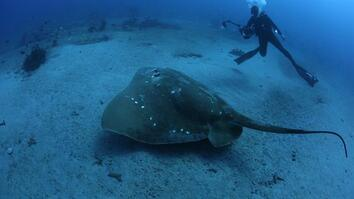 Scientists conduct first study on the largest known marine stingray