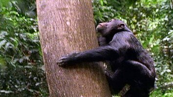 Chimps Hunting in Trees