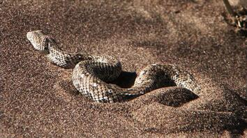 Africa's Deadliest: A Side-Swiping Snake