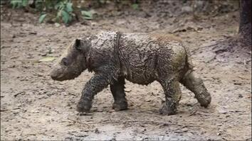 Baby Sumatran Rhino Is Indonesia's First Born in Captivity