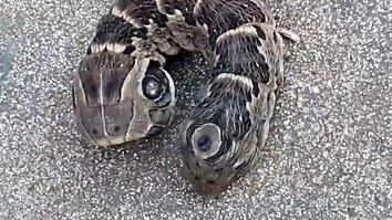A Stubby, Two-Headed Snake? Guess Again!