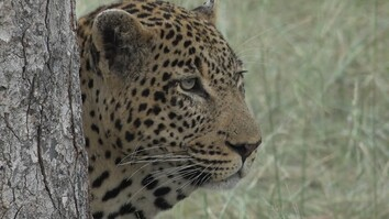 Why Male Leopards Have Saggy Necks