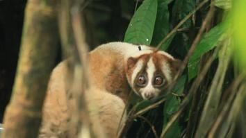 Slow Lorises Rescued From Illegal Pet Trade in Indonesia, Released Into Wild