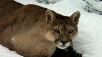 Chile: Realm of the Puma