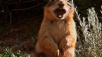 Prairie Dog Alarms