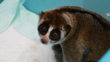 9 Slow Lorises Rescued From Illegal Pet Trade