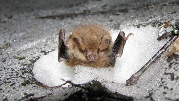 Watch Rare Video of Bats Hibernating in Snow Dens