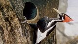 Finding the Ivory Billed Woodpecker, Again