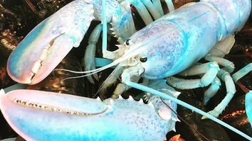 Ultra-Rare Lobster Looks Like Blue Cotton Candy