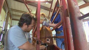 Castrating a Bull