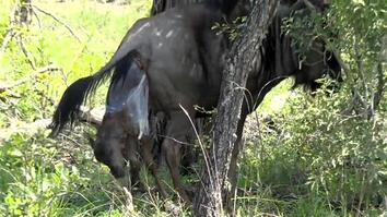 Witness the Birth of a Baby Wildebeest Out in the Wild