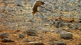 Strike of the African Wild Cat