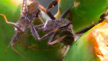 See the Awesome Wrestling Moves of the Leaf-Footed Insect