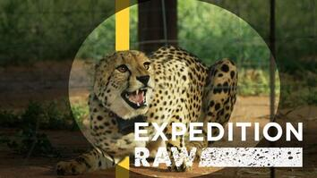 Cheetah Matchmaking: Helping Big Cats Find A Mate
