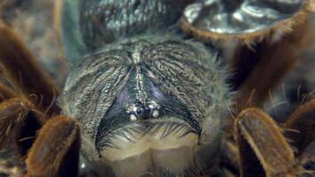 Watch a Giant Spider Wriggle Out of Its Skin
