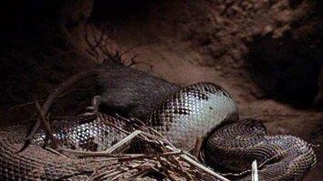 Rats at Night