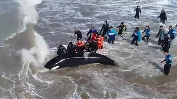Beached Orca Saved in Dramatic Rescue