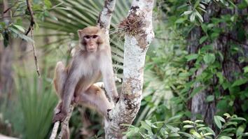 United States of Animals: Florida Monkey Business