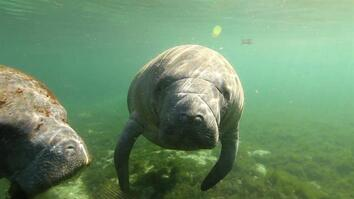 Natural Springs Offer a Unique Encounter With Manatees