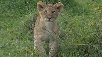 For Adorable Lion Cubs, Playtime is More Than Just Fun
