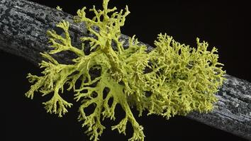 What's in a Lichen? How Scientists Got It Wrong for 150 Years