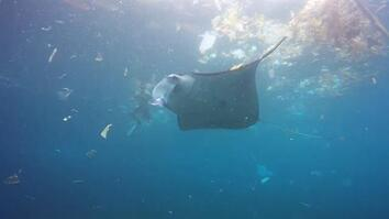 Manta Ray Swims in Trash-Filled Ocean