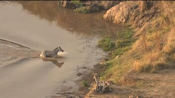 Epic Video: Zebra Narrowly Escapes Crocodile, Runs Into Lions