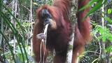 New Species of Orangutan Is Rarest Great Ape on Earth