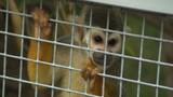 Former Pet Primates Find Haven
