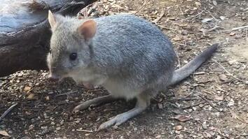 Meet Brian the 'Mini Kangaroo,' One of Many Unknown Marsupials