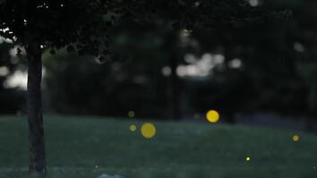 The Science Behind a Firefly's Flash