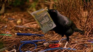 World's Weirdest: Bowerbird Woos Female with Ring