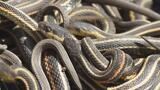 Too Much Sex Is Killing These Male Snakes