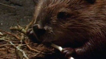 Beavers Are Geniuses