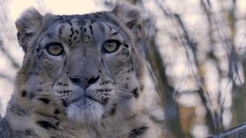 Snow Leopards 101