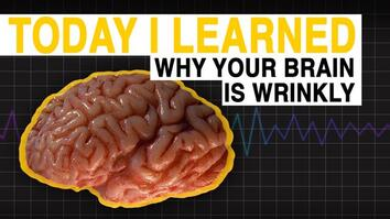 TIL: Why Your Brain is Wrinkly