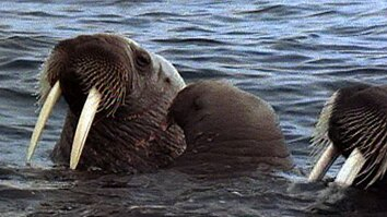 Walrus Mom and Baby