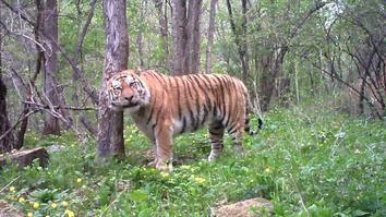 Meet Russia's Tiger Guardians