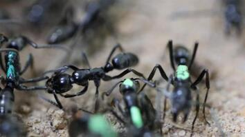 Self-Sacrificing Ants Refuse Treatment of Their Wounds