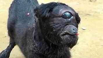 """Cyclops"" Goat Born in India"