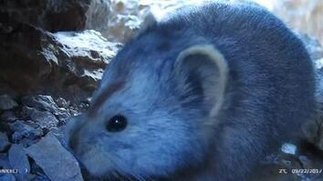 See Extremely Rare Video of Teddy Bear-Like Mammal