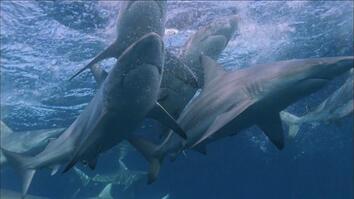 North Carolina Shark Frenzy