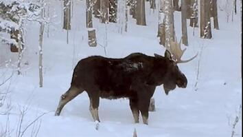 Rare Video: Moose Loses an Antler