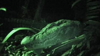 A Black Caiman on the Prowl