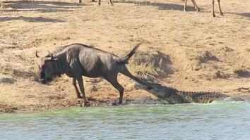 See Hippos Save a Wildebeest From Crocodile's Jaws