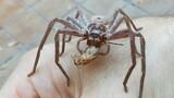 Giant Spider Devours Cricket On Man's Hand