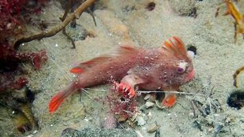 Rare Red Handfish Colony Discovered in Tasmania