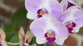 Replacing Florida's Lost Orchids