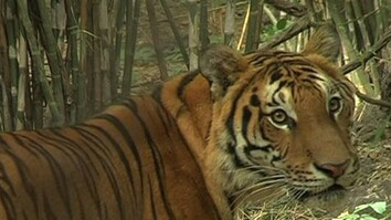 Tiger Trade Slashes Cats' Numbers