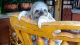 Watch Orphan Baby Sloths Learn to Climb on Rocking Chairs